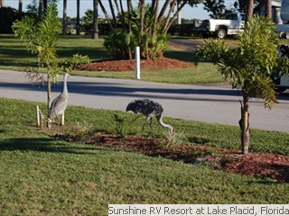 Sand Hill Cranes at Sunshine RV Resort